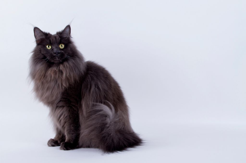 Maine Coon - CH. Jewely queen D'asland