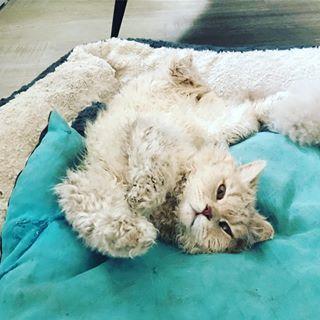 Selkirk Rex poil court et poil long - Owen Des Mohair Cats