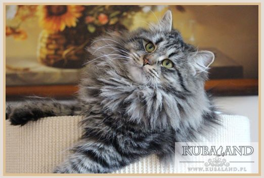 Sibérien - Xanny lara phantom cats