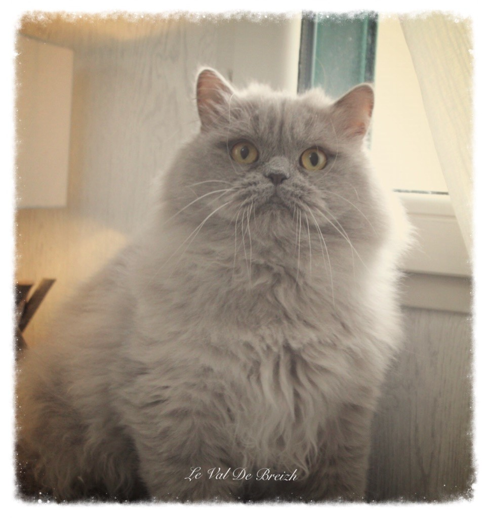 British Shorthair et Longhair - Jason D'aucapela