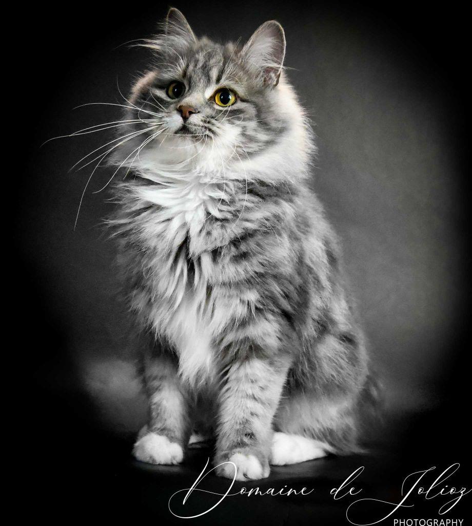 Kurilian Bobtail poil court et poil long - Fortuna comandor lynx