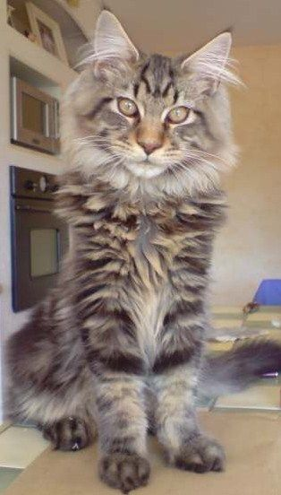 Maine Coon - CH. melicoon Enzo