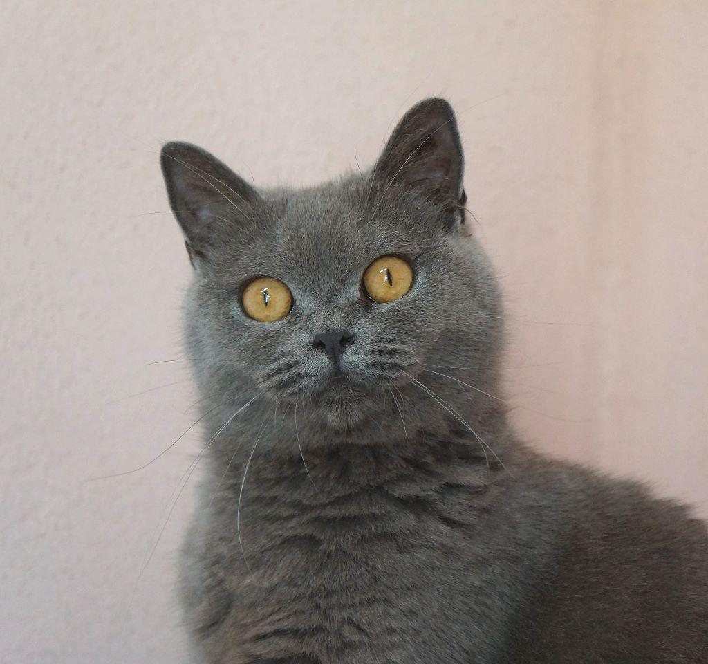 British Shorthair et Longhair - Nutella Du Paradina's Cats