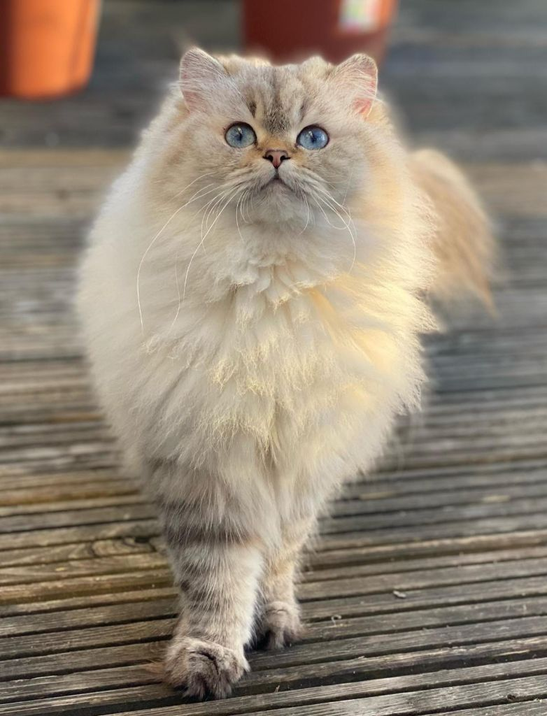 British Shorthair et Longhair - Perla de vis a vis