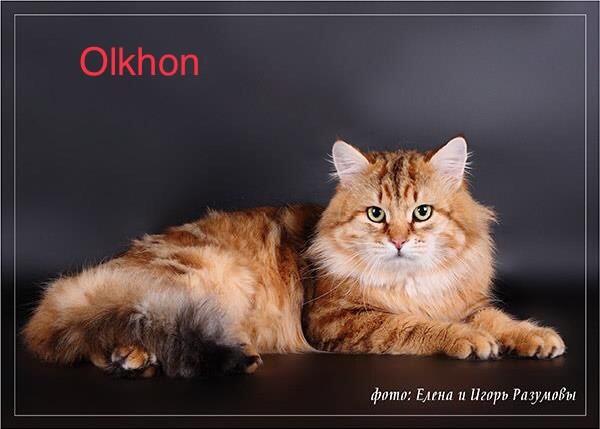 Sibérien - CH. Olkhon onix gloria Titre Initial