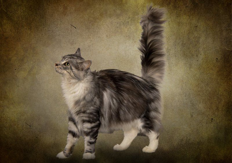 Maine Coon - Mayla kevan-cat