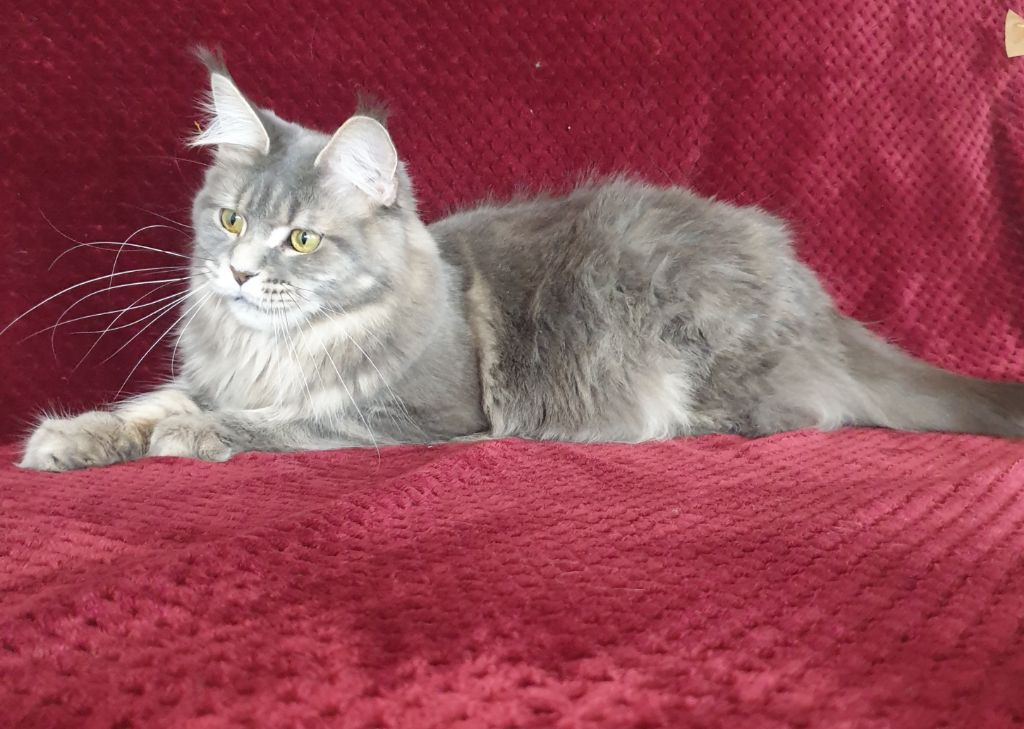 Maine Coon - CH. big-hannibals Vanilla rose
