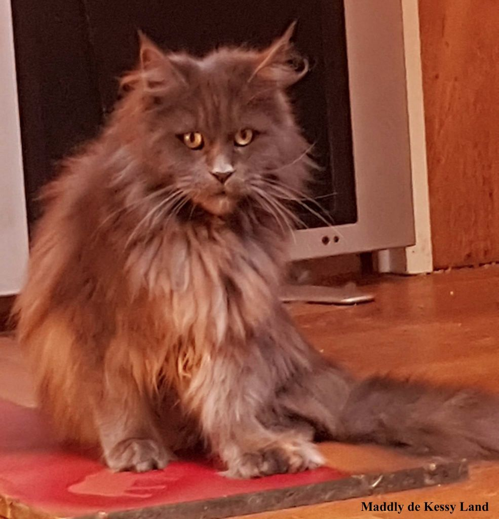 Maine Coon - Maddly pp de kessy land