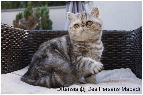 Les Exotic Shorthair de l'affixe des Persans Mapadi