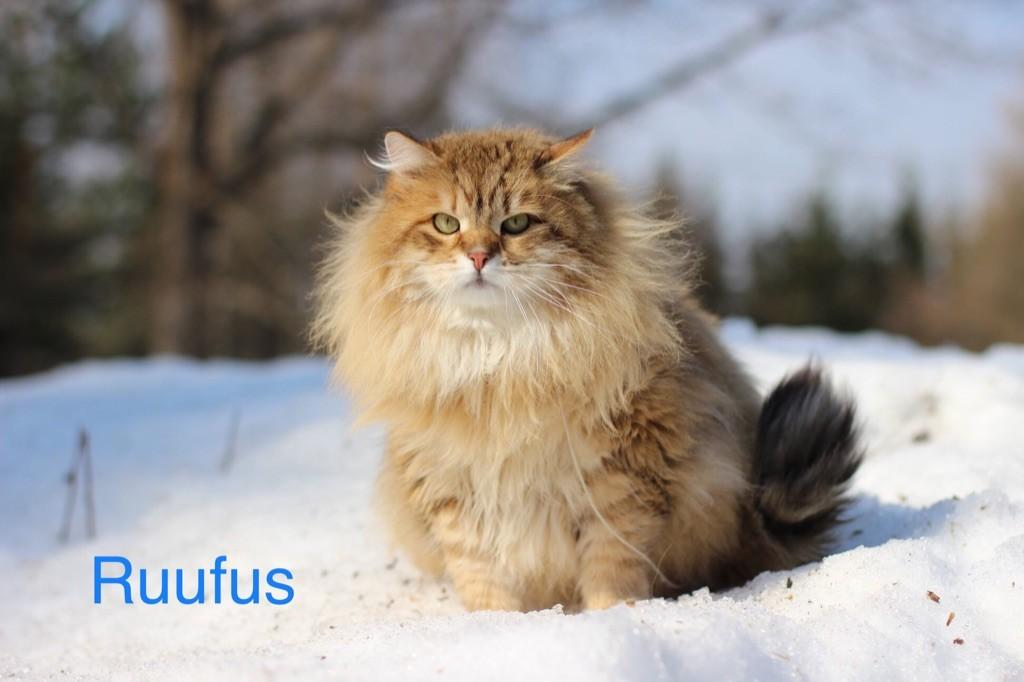 Sibérien - CH. Titre Initial Amurin ruufus