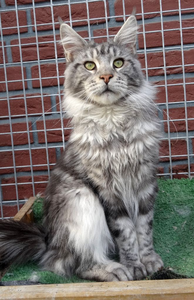 Maine Coon - CH. country gulliver's Russian charm