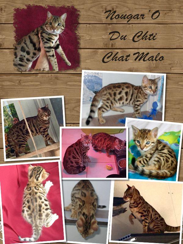 Bengal - Nougaro Du Chti Chat Malo