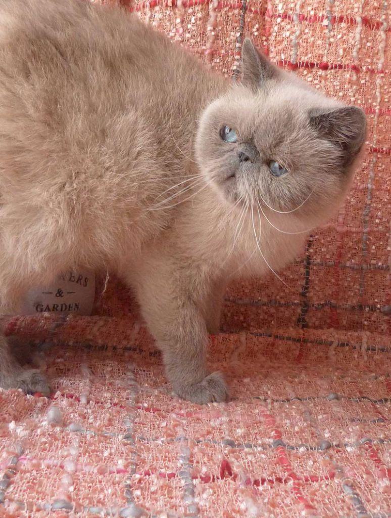 Exotic Shorthair - galax cat Blue rose