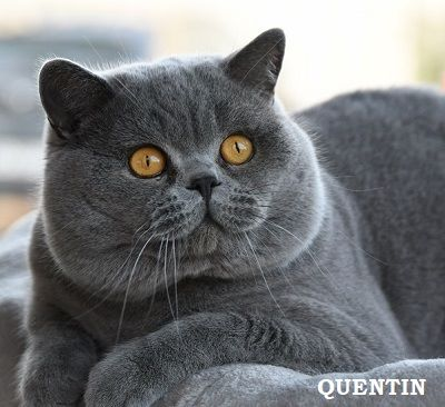 British Shorthair et Longhair - Quentin from askar's city
