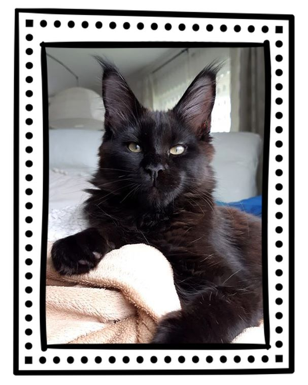 Maine Coon - Rose aly du p'tit cool coon