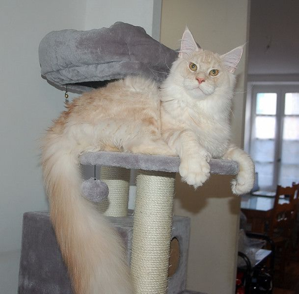 Maine Coon - Nigel of etheral