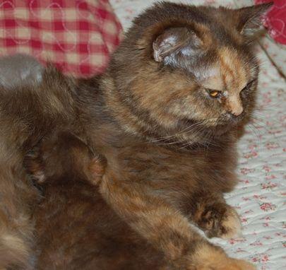 British Shorthair et Longhair - Olive des clthas