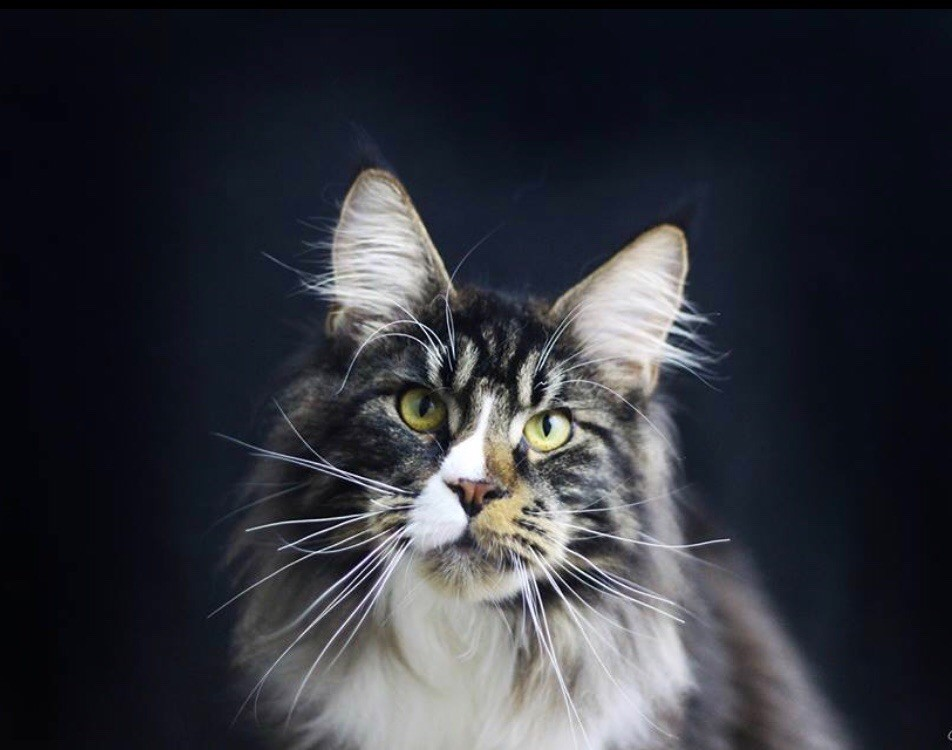 Maine Coon - family star Royal guiness