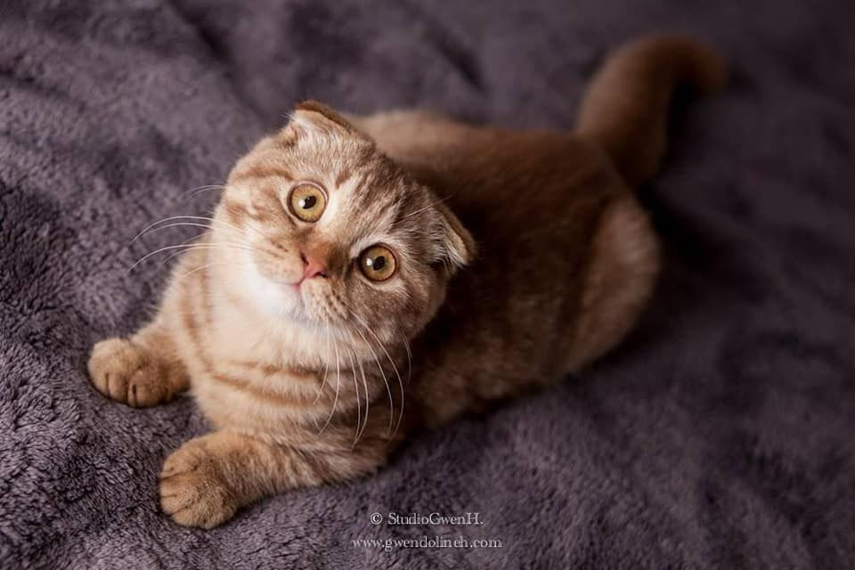 Les Scottish Fold de l'affixe Des Rives Du Viaur