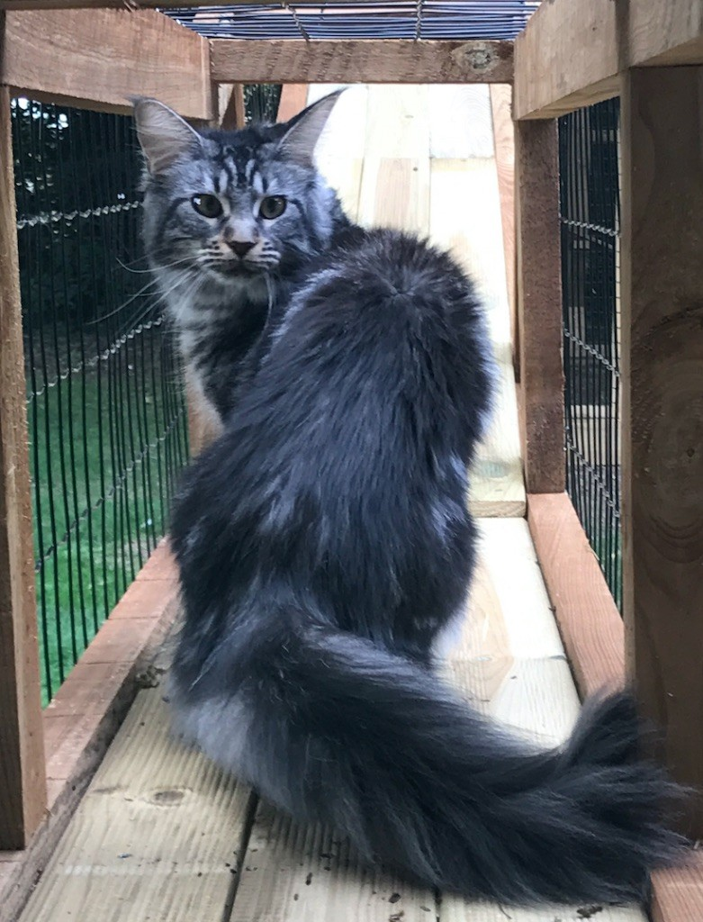 Maine Coon - Morphine Du DomaineDeMaëlle