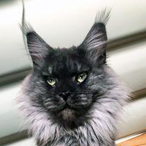 Maine Coon - Pastaga De Caval'cats