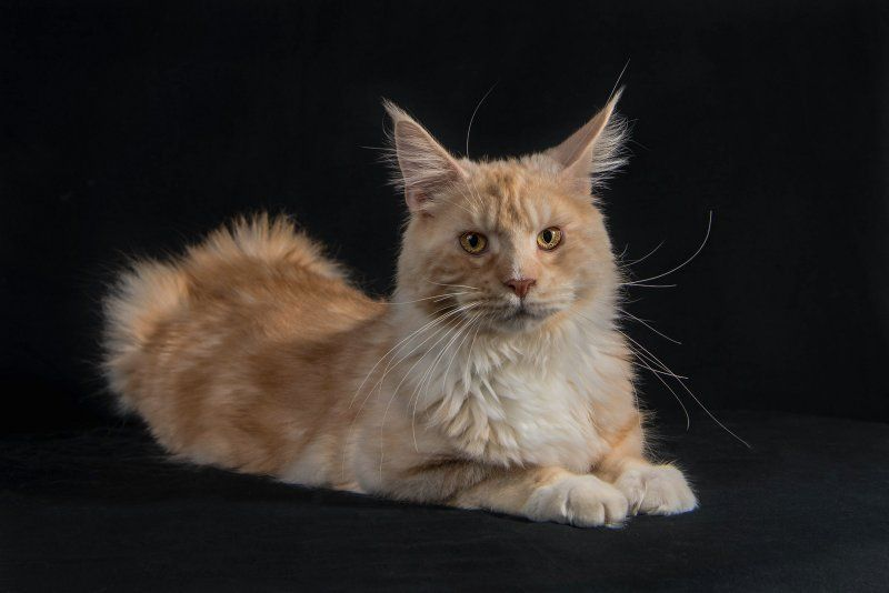 Maine Coon - Pompeo Musketiere-Cat