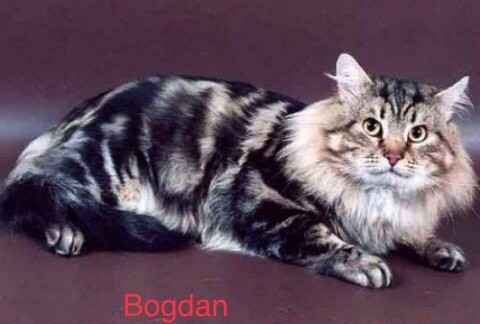 Sibérien - CH. Bogdan volzhskaya krasa