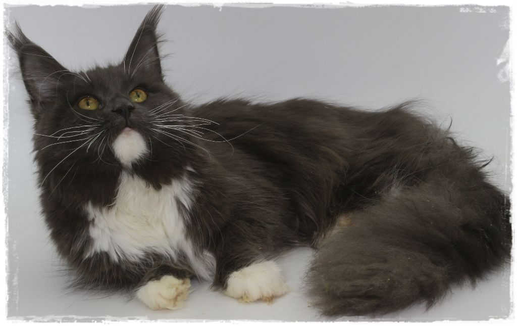 Maine Coon - CH. cats est lavie Ellimur