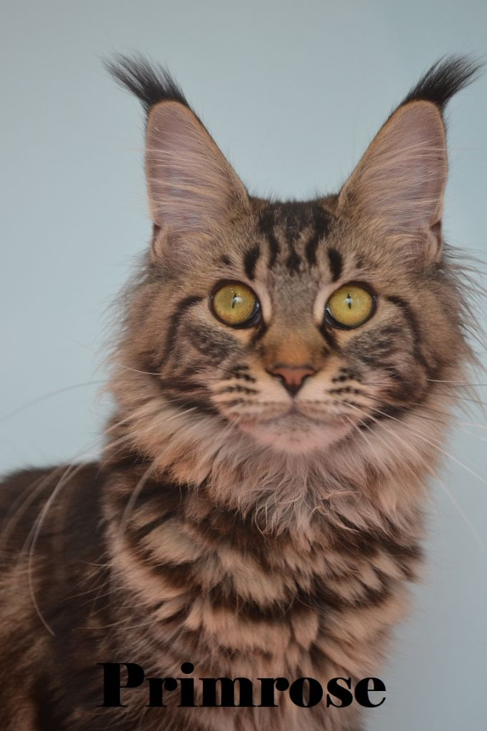 Maine Coon - amibial Genny