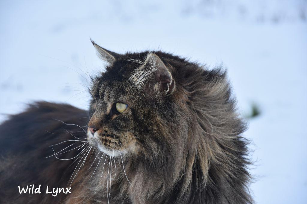 Maine Coon - Wild Lynx L'ocelot