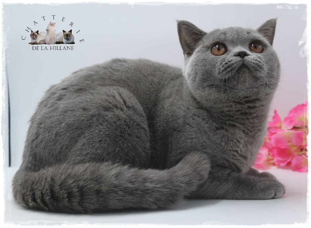 British Shorthair et Longhair - CH. gem sweet Asheyd