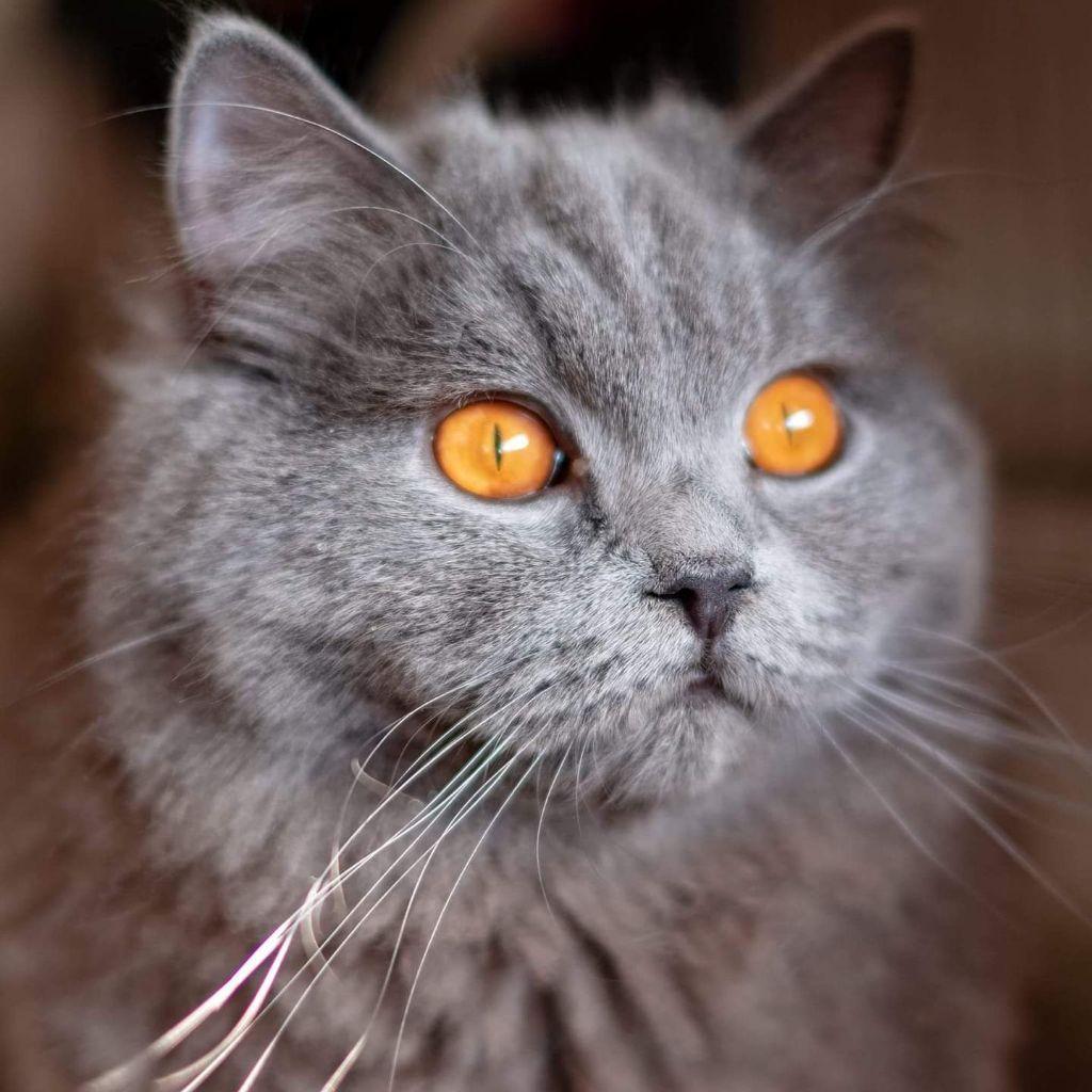 British Shorthair et Longhair - velvet eyes's Nastasia