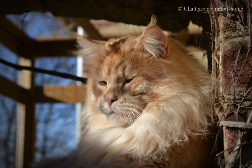 Maine Coon - Mount Dreams Mist Of Avalon