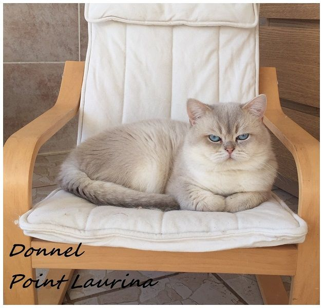 British Shorthair et Longhair - Donnel point laurina