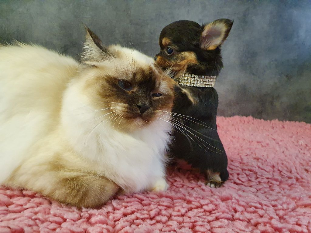 Sacré de Birmanie - Pussy cat ker le feyon