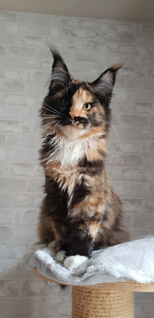 Maine Coon - volnacoon Miss tik