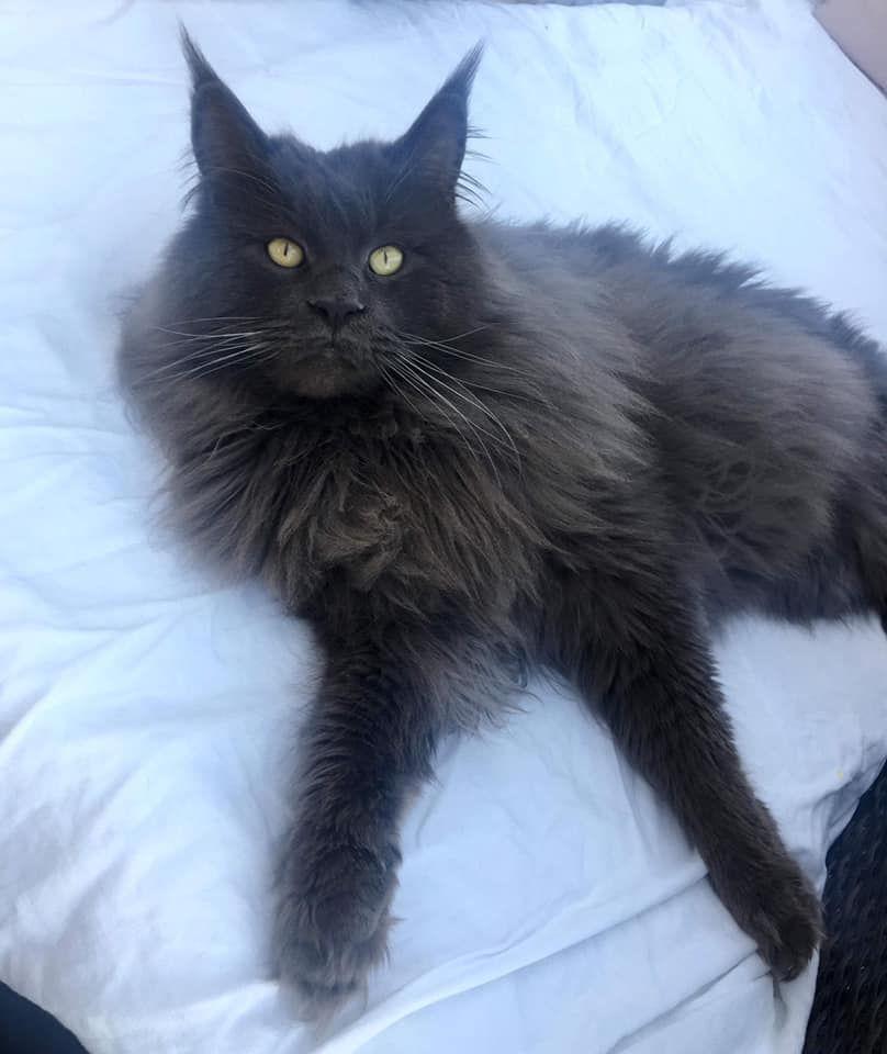 CH. cat's coon Milo