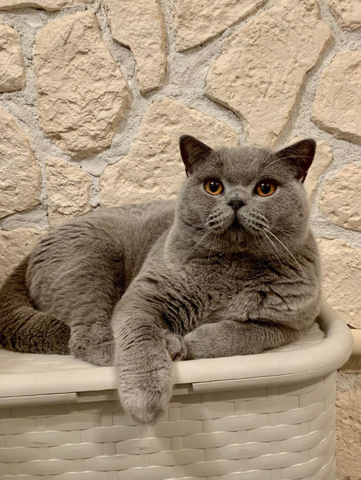 British Shorthair et Longhair - Caesar from askar's city