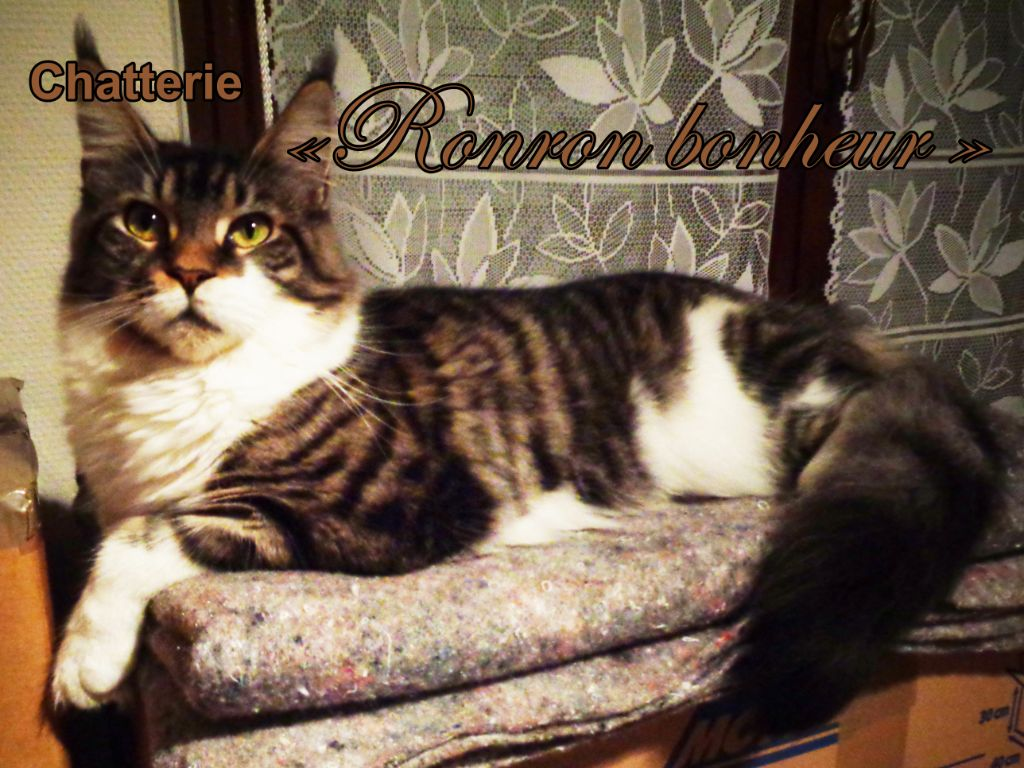 Maine Coon - Qloonny De Great Goddess