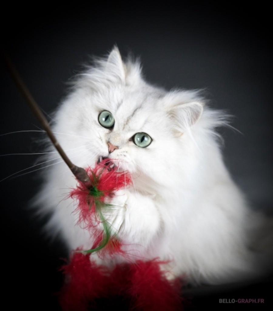 British Shorthair et Longhair - CH. mcb'cats Nuage