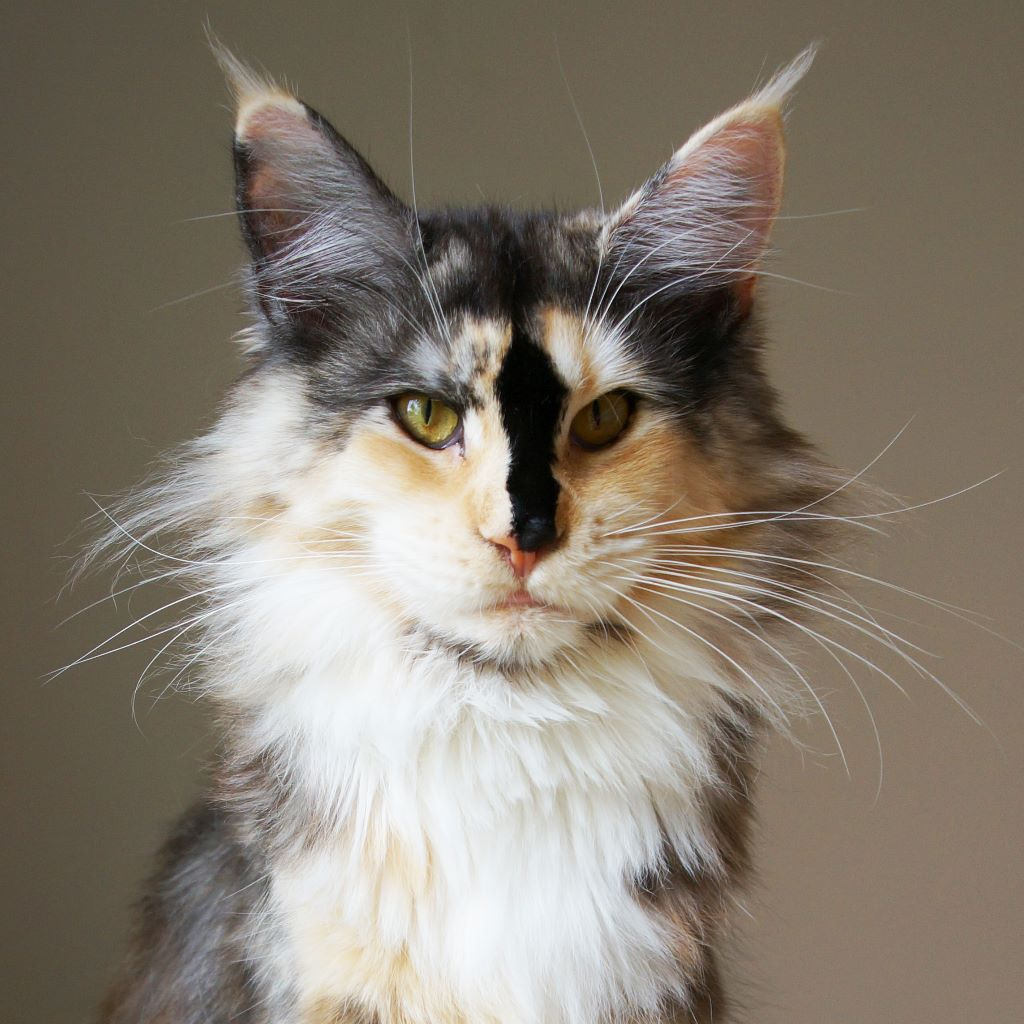 Maine Coon - Cheshire Coon's Queeny