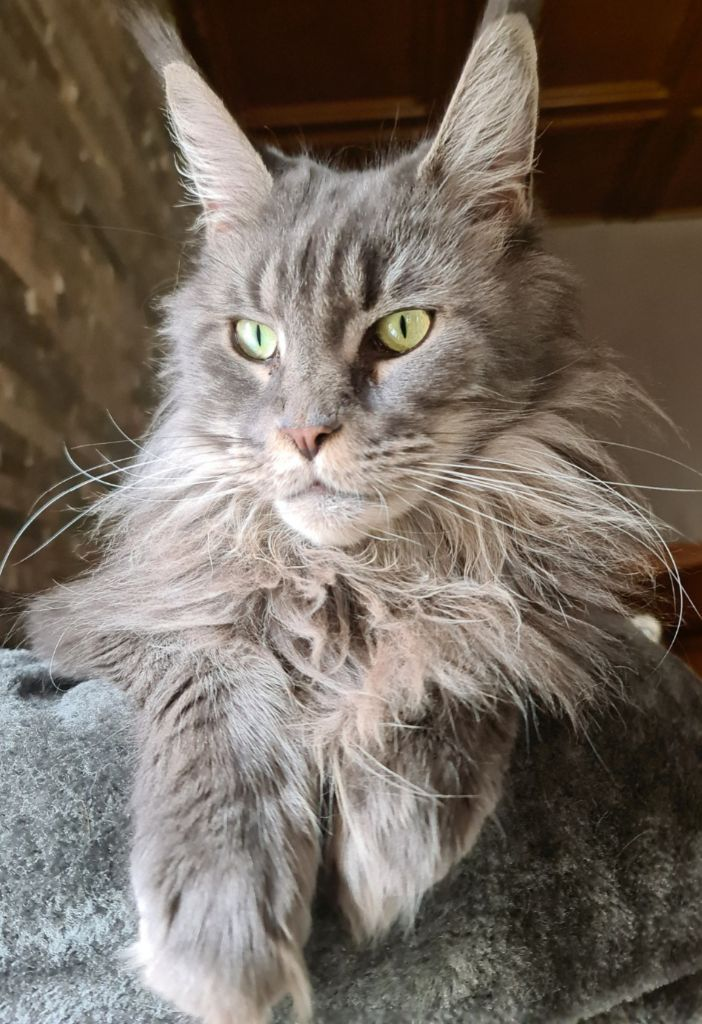 Maine Coon - Mylane du val fontaine
