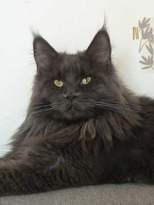 Maine Coon - blue mist wild X'clusive himary