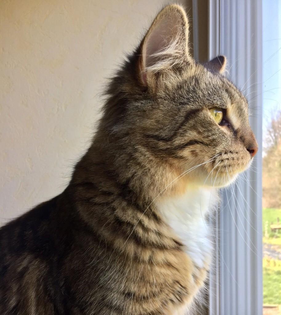 Sibérien - Des Perles De Sibérie Royal cats desiderio