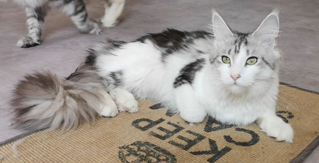 Maine Coon - Pepite Of Homega