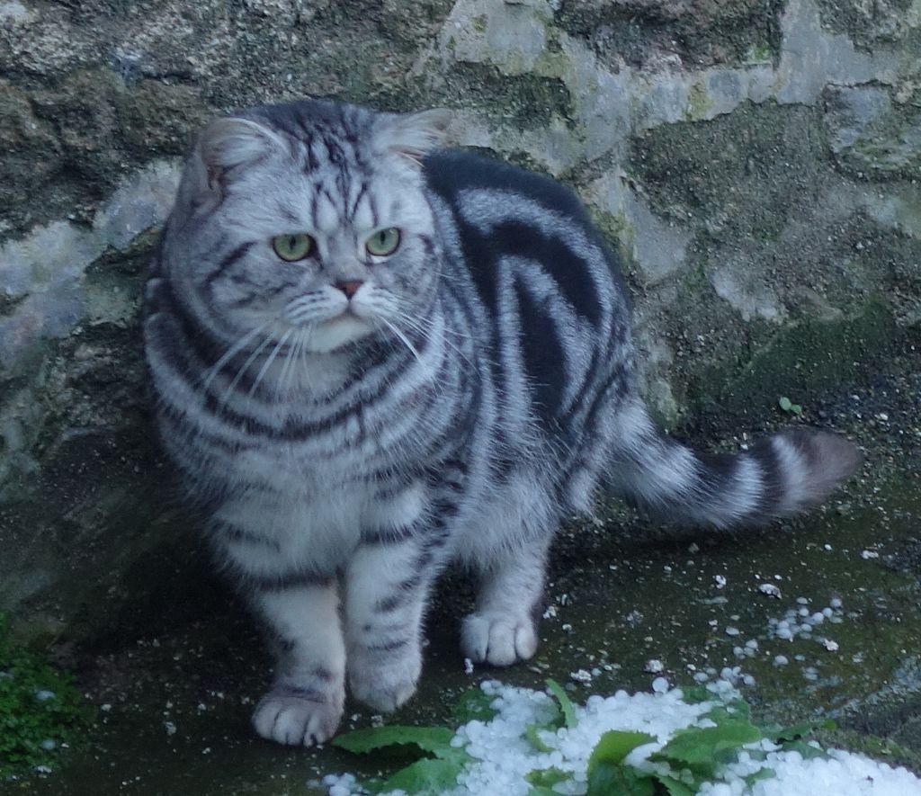 British Shorthair et Longhair - CH. Calypso von mahlower tiger sky