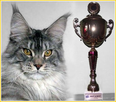 Maine Coon - top coon Usee,jw