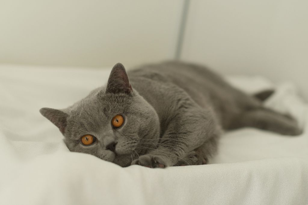 British Shorthair et Longhair - CH. langewald magic Doom