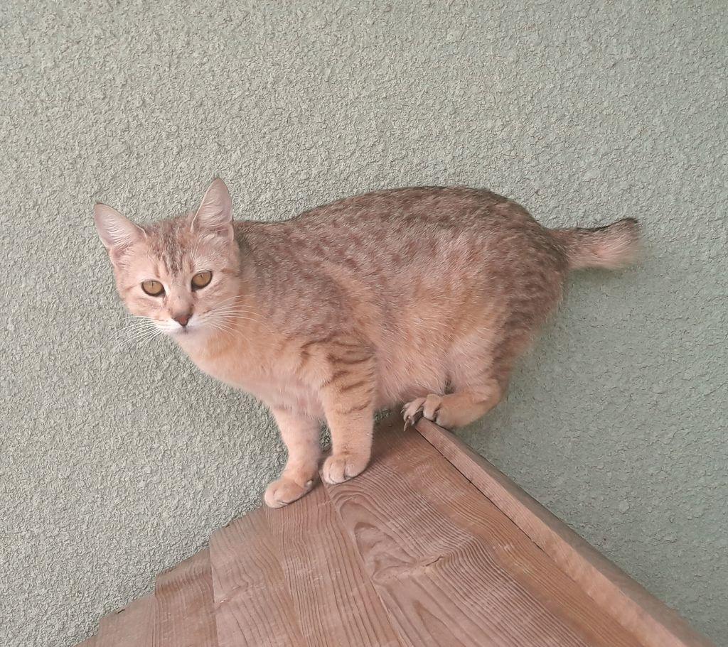 Pixie-Bob poil court et poil long - CH. wild cat of moscou Pandora