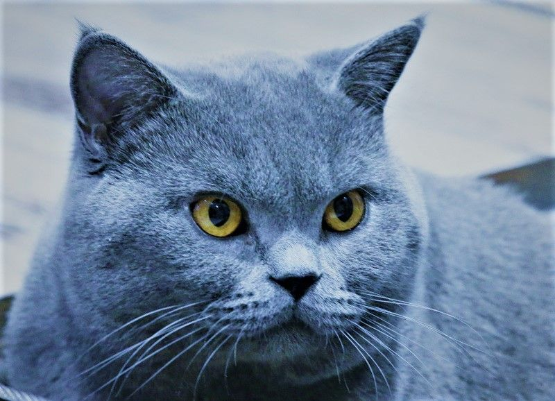 British Shorthair et Longhair - Mister malabar Sans Affixe